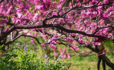 Facts About The Okame Cherry Tree