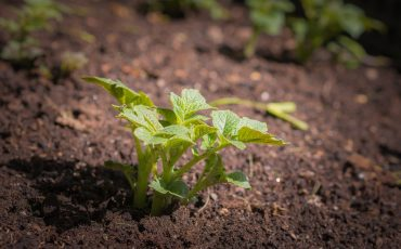 How To Grow Potatoes The Lazy Way- It's So Easy