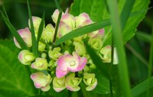 Best Caring for Hydrangeas
