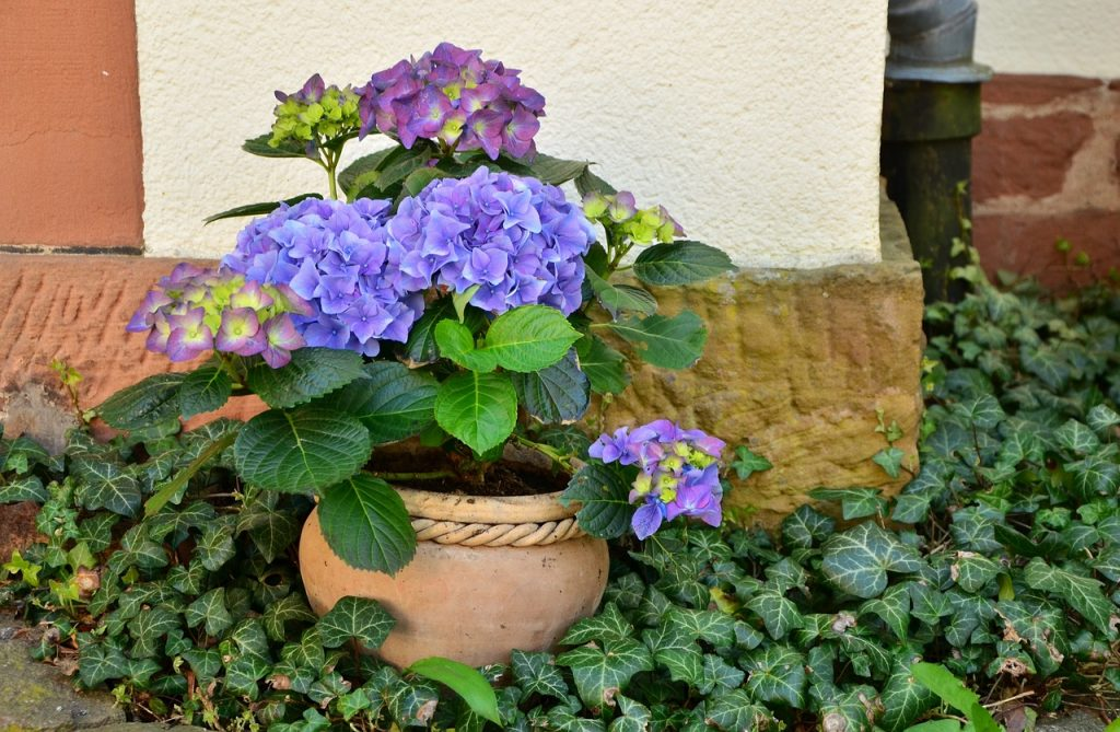 Best Caring for Hydrangea