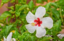 how to care for a hibiscus