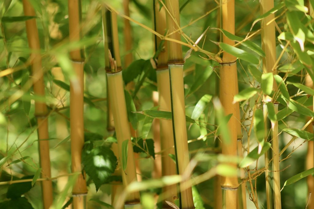 Fast-growing bamboo hedge plants