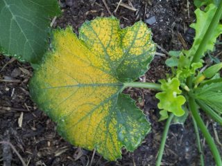Why squash leaves turning yellow-1