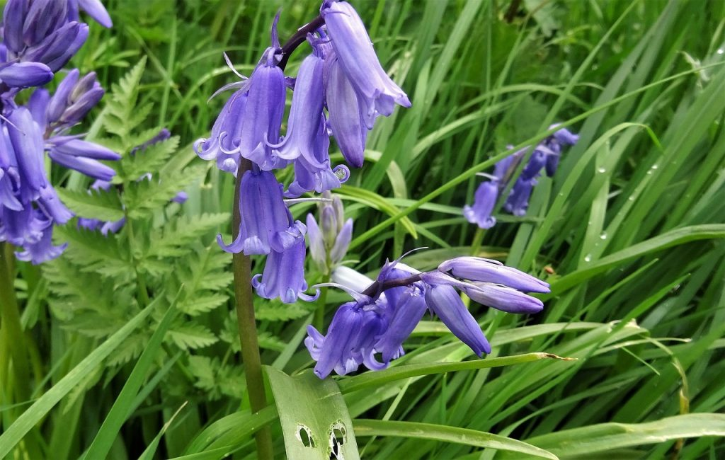 bell-shaped flowers Bluebells