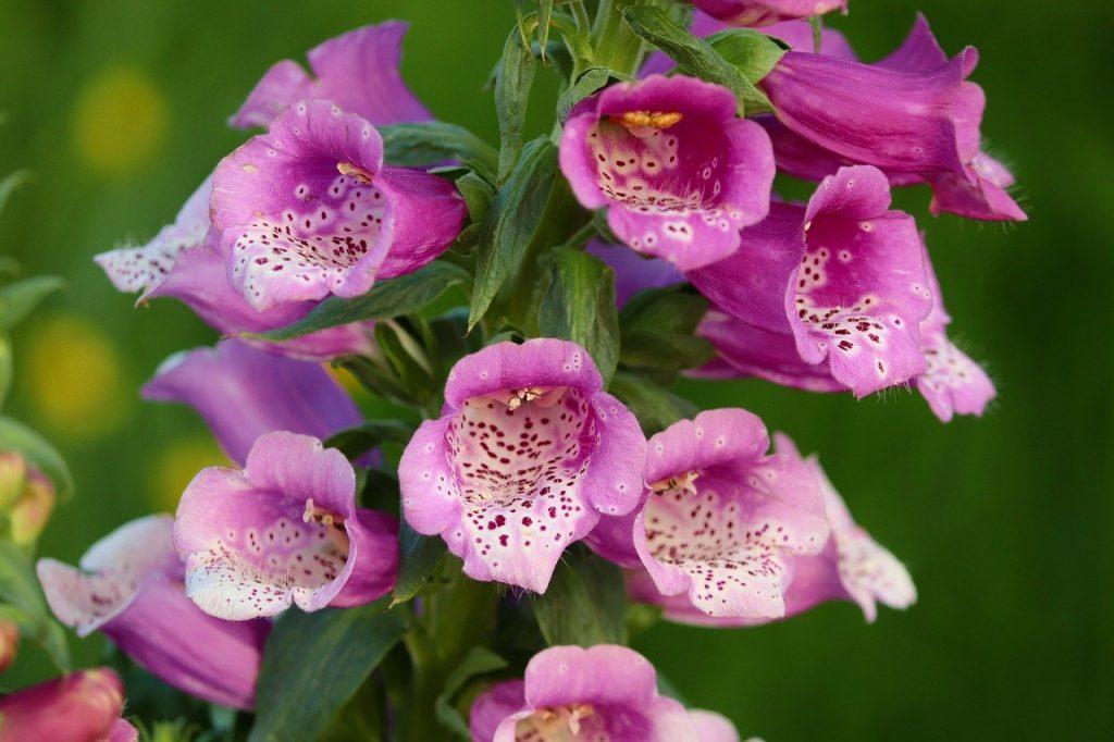 bell-shaped flowers Foxglove