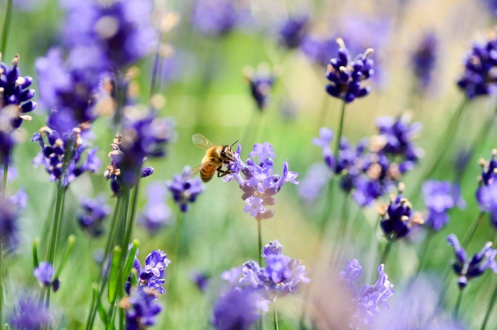 Lavender snake deterrent plants