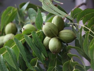 What Does a Pecan Tree Look Like