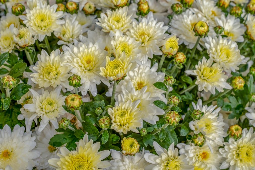 chrysanthemums-Plants that keep roaches away