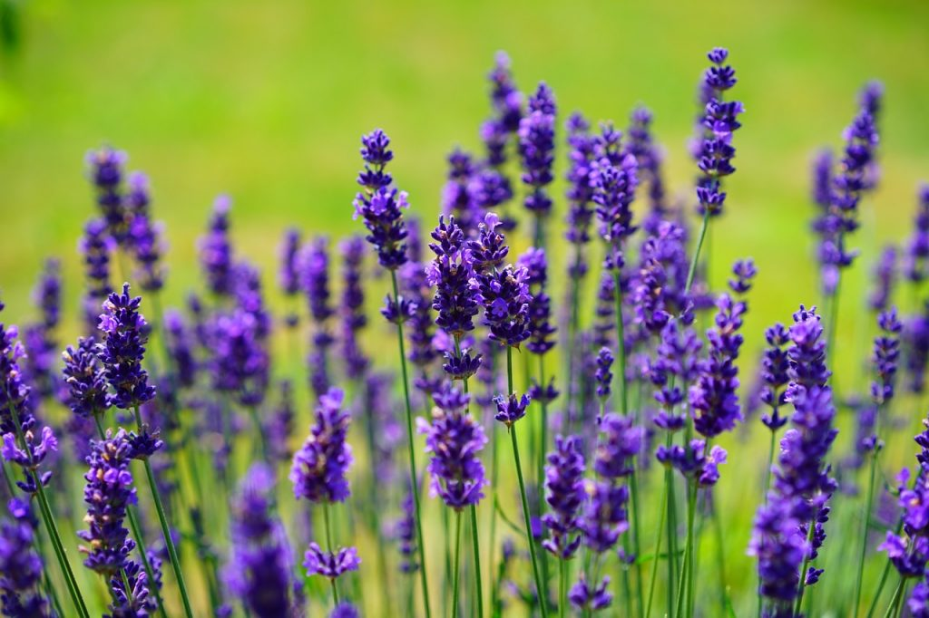 lavender best ways to kill roaches