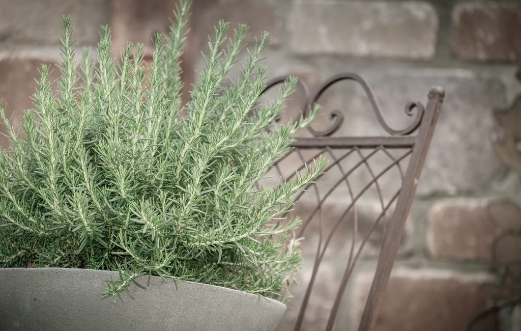 rosemary plants that repel cockroaches